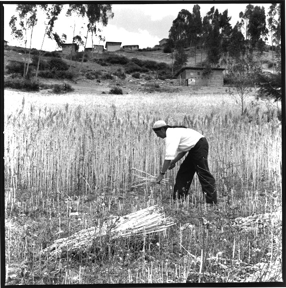 Antonio harvest quinoa