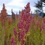 quinoa close