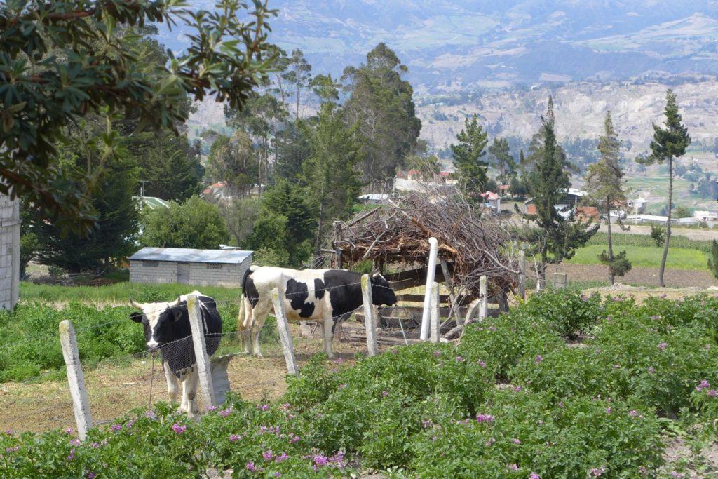 cow-choza